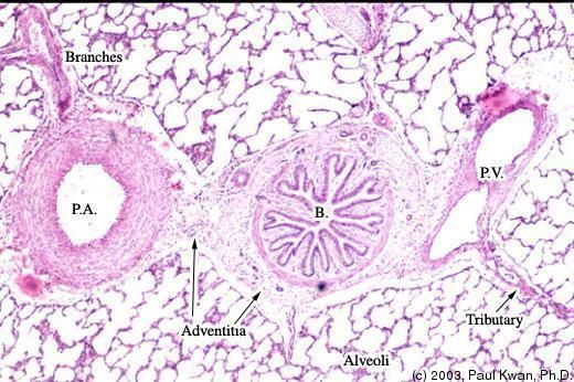 histopatologie din giardia duodenului