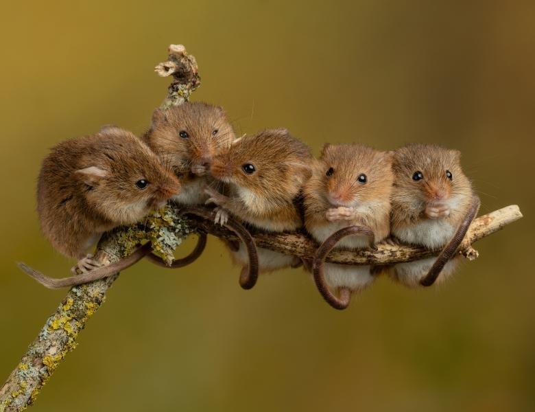 îndepărtarea papilomului de șoarece