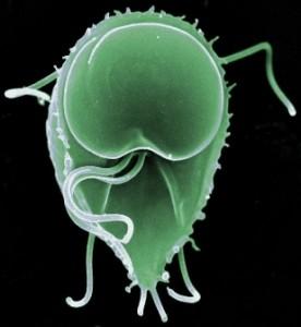 infecția giardiei contagioasă