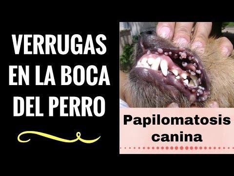 tratamiento para papilomatosis en perros human papillomavirus hpv infection