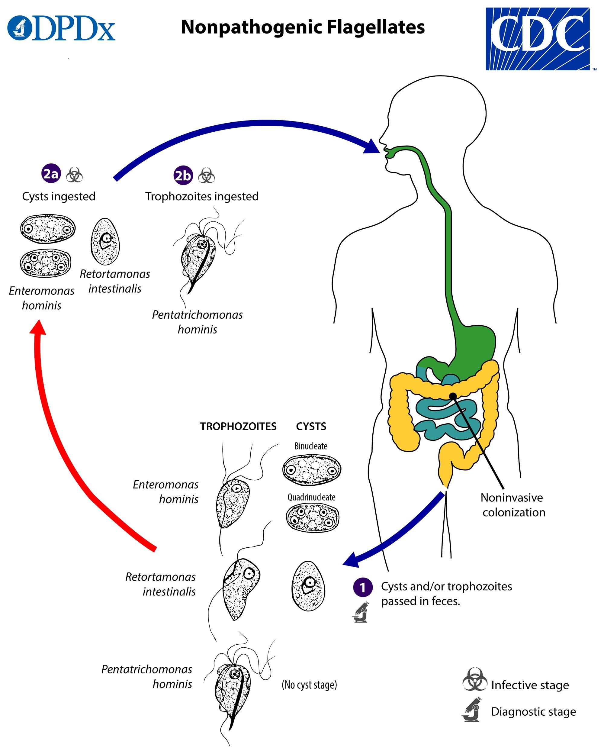 Examen coproparazitologic, Localizarea giardiozei în organism
