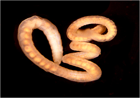 La adulți preparate de viermi și viermi, Preparate și viermi