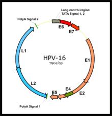 Human papillomavirus incubation