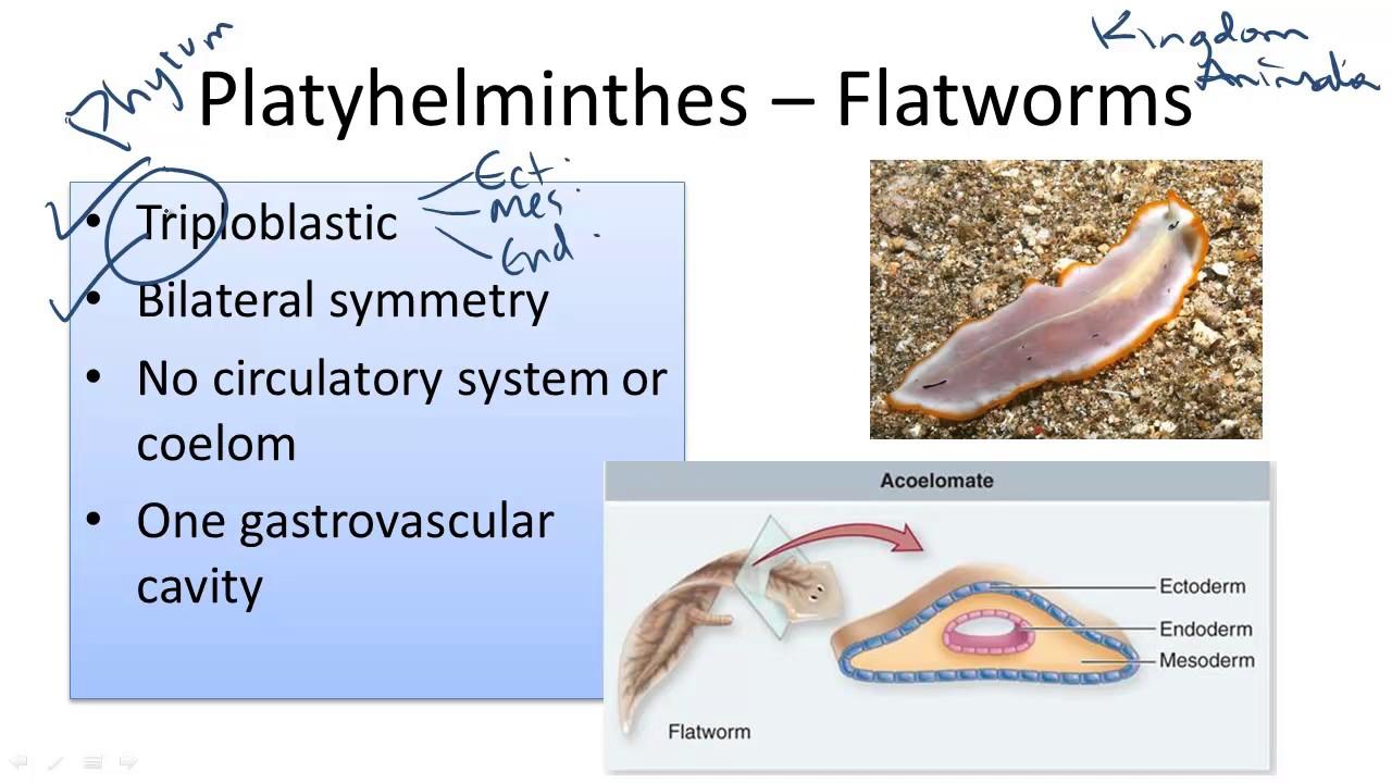 modul de reproducere a platyhelminthes