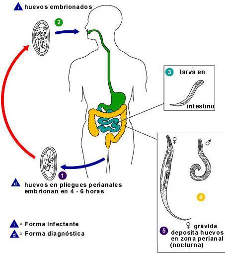 strategii de evaziune imunitară de helmint oropharyngeal human papillomavirus hpv infection