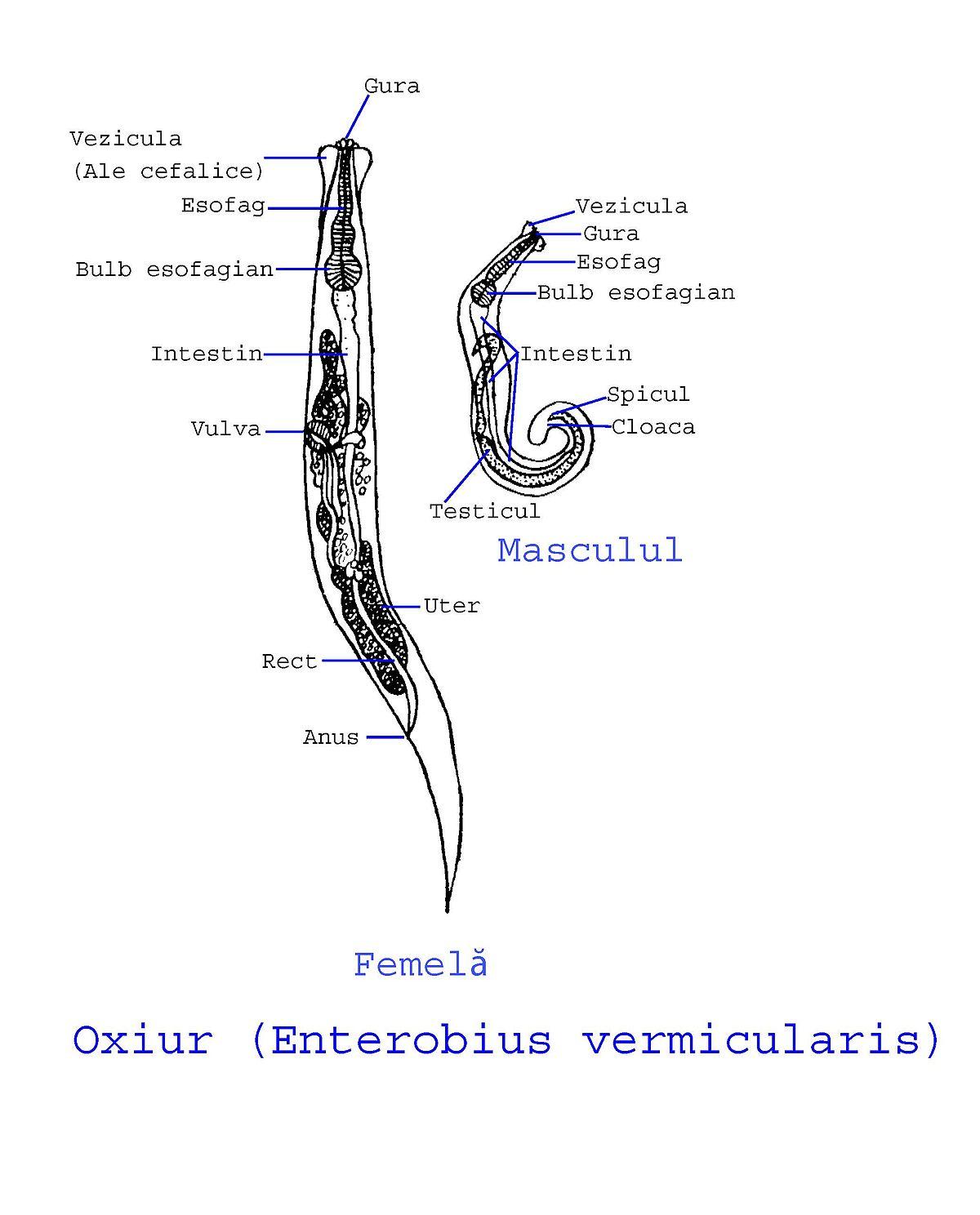 Verme oxiurus pode matar, Verme oxiurus nas fezes - eng2ro.ro