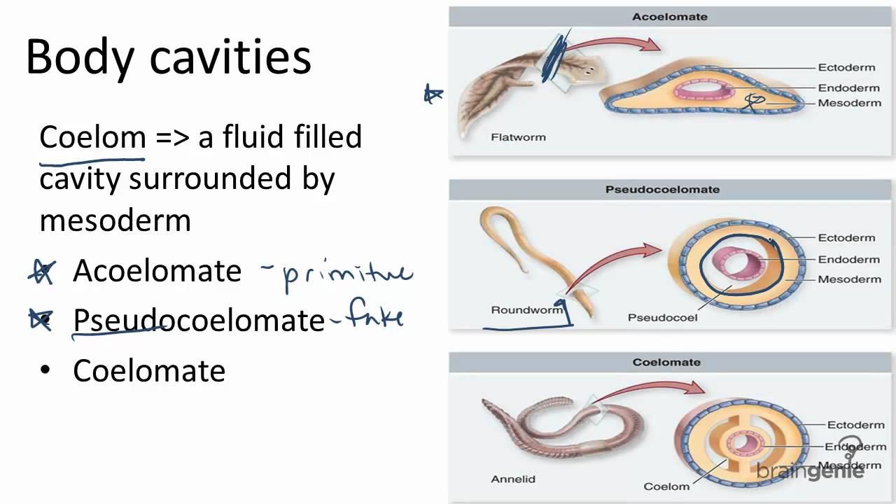 diferențele dintre clasele de platyhelminthes