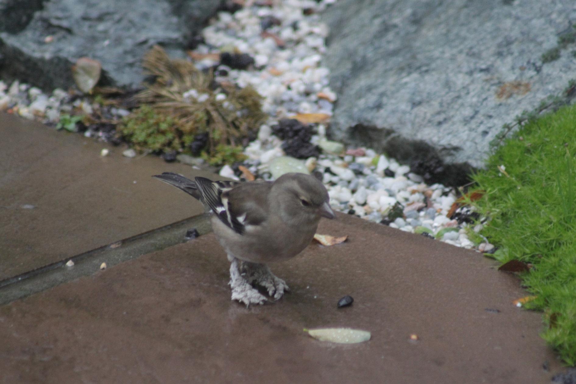Papillomas in birds, Înțelesul