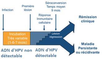 papillomavirus temps d incubation hpv genital masculina