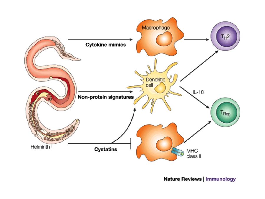 Helminth infection and host immune regulation - Parasitic helminths glycans