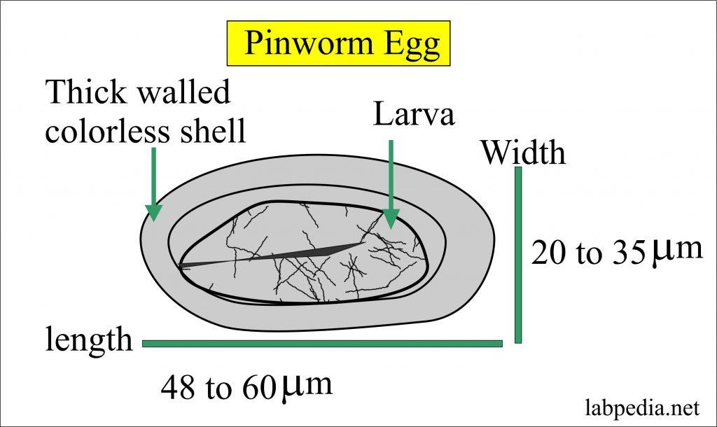 enterobius vermicularis egg size cryopharma papiloame