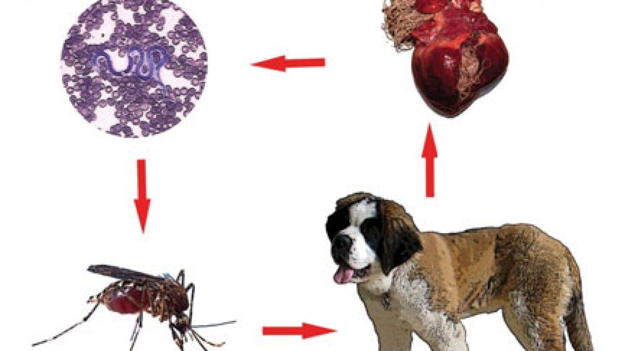 Medicament de vierme rotunde pentru oameni, Medicamente cu vierme rotunde