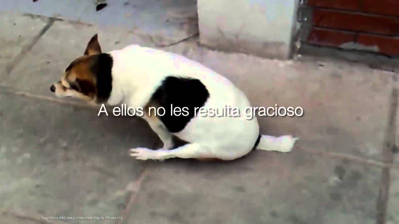 oxiuros en los perros