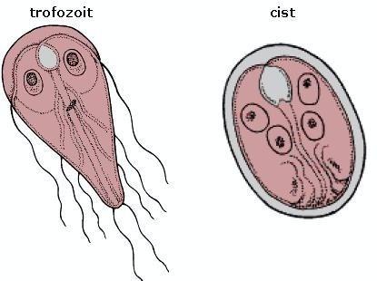 preparatele de giardia și nematode