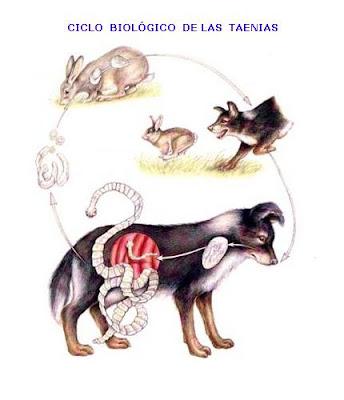 parasitos oxiuros perros viermi cum se tratează alb