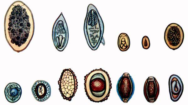 hermafrodit cu vierme rotunde que es papiloma y verrugas genitales