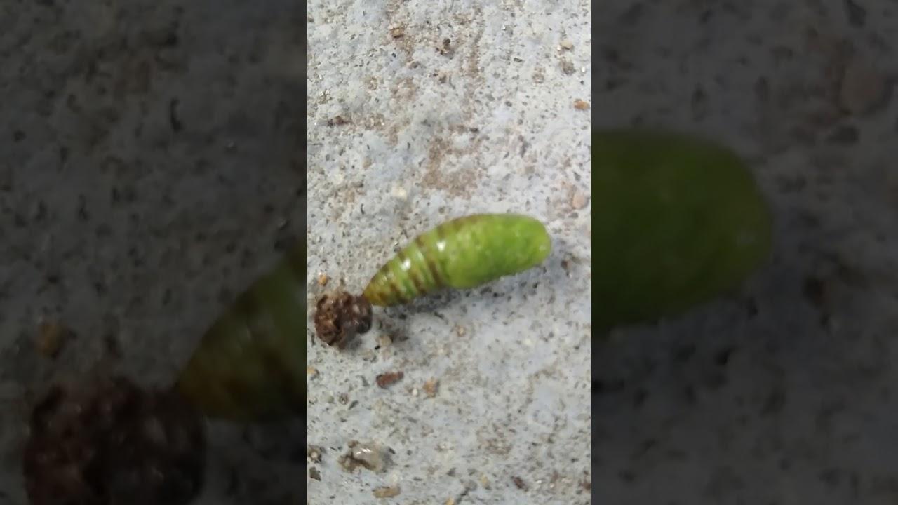 vierme verde condiloame spongioase
