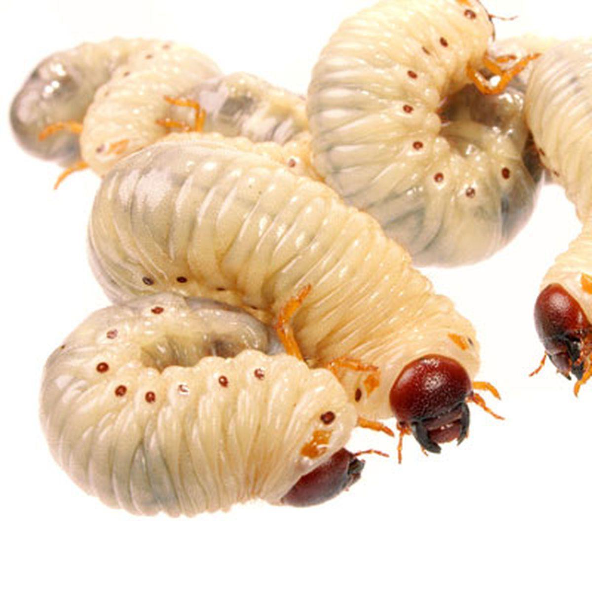 Simptome de viermă de vierme Tinctura de candelabre realizate din tablete parazite