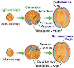 platyhelminthes straturi de germeni embrionari