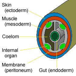 platelhelminthes coelom remedii de vierme pentru gravide