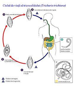 stadiile tratamentului parazit