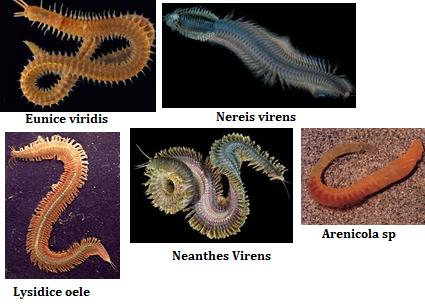 Makalah filum aschelminthes. Contoh makalah filum nemathelminthes. Típusú szarvasmarhák