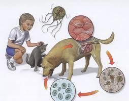 Tratamentul chisturilor cu Giardia