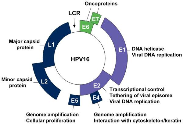 genome viral papillomavirus humains oncogenes tricou parazitii 20 cm records spate