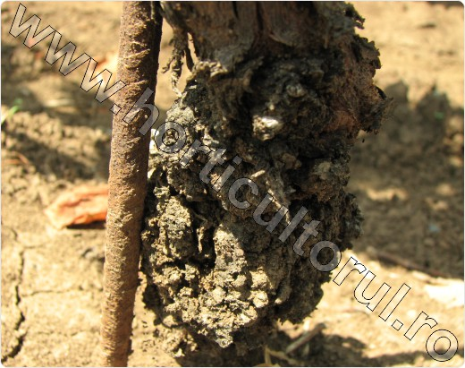 cancer bacterian pomi)