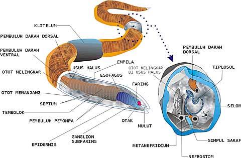 Contoh nemathelminthes yang parazit pada manusia