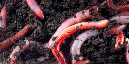 paraziti piele om