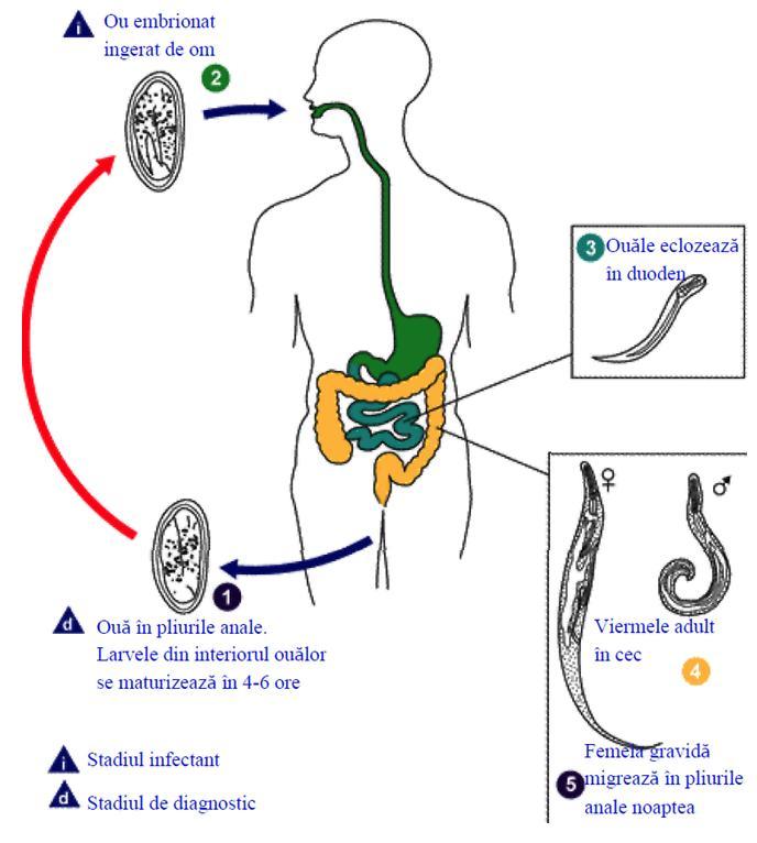 modul de filtrare a simptomelor de vierme