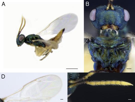 paraziti himenoptera preparate pentru verucile genitale în locuri intime