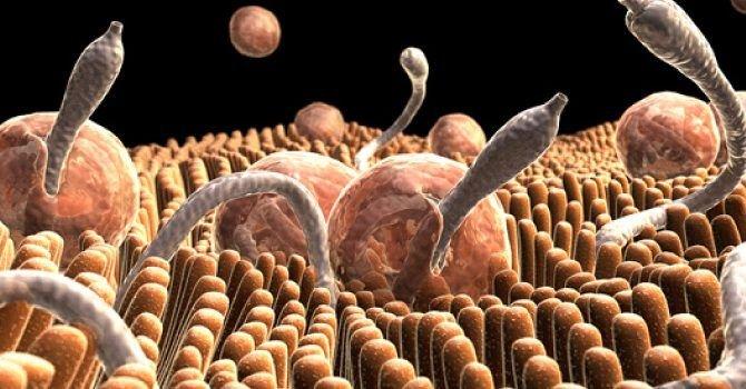 papilom scuamos amigdalian pregătire helmint