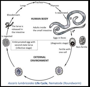 faze ale tratamentului cu viermi