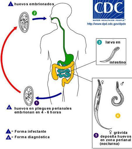 enterobius vermicularis monoxeno deparazitare naturala