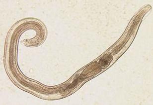 forma reproductivă a nematodei
