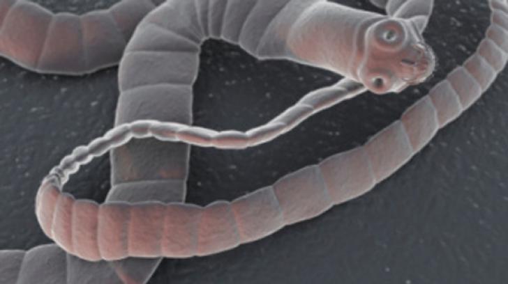 cum să elimini viermii din prună cum apare un tenac de taur