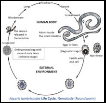 helminth definition biology