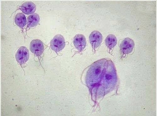 giardia valp comportament)