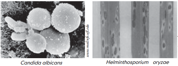 Oryzae helminthosporium pengertian - primariacetateni.ro