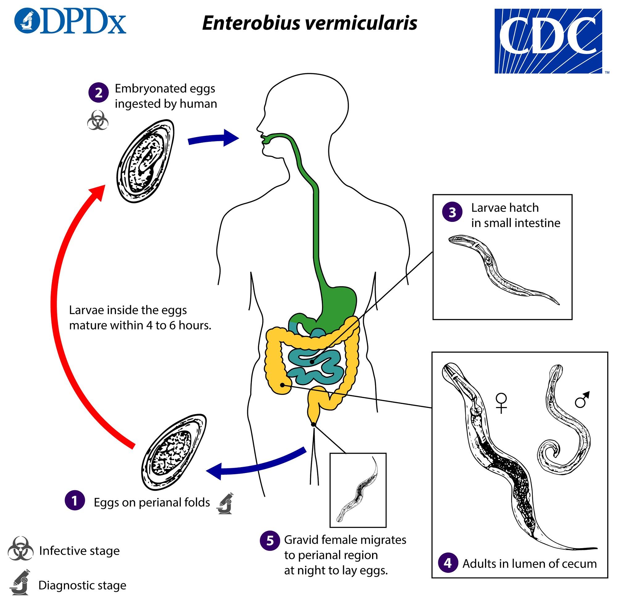 tratamentul cu agulov pentru paraziți vaccino papilloma virus napoli