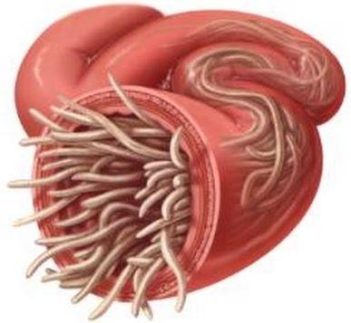 Oxiuros tratamiento parasitos Leziuni parazitare ale inimii Oxiuros tratamiento parasitos