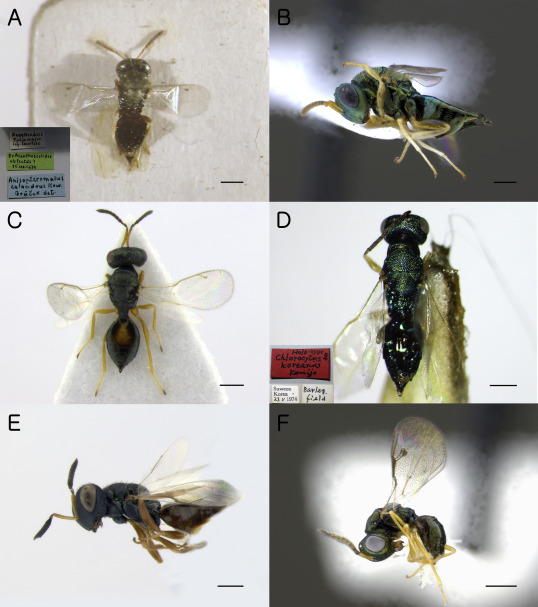 paraziti himenoptera cum să tratezi helmintii