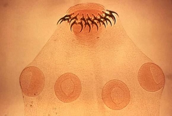paraziti stomacali)