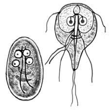 Preparatele de giardia și nematode paraziti la fiere