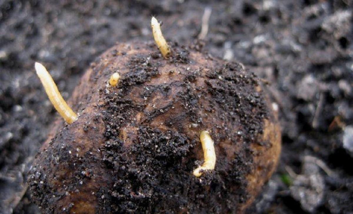 specii de viermi de pământ does intraductal papilloma hurt