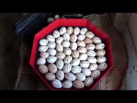 Pinworms mărimea ouălor. Worms, cum ar fi oxiuri