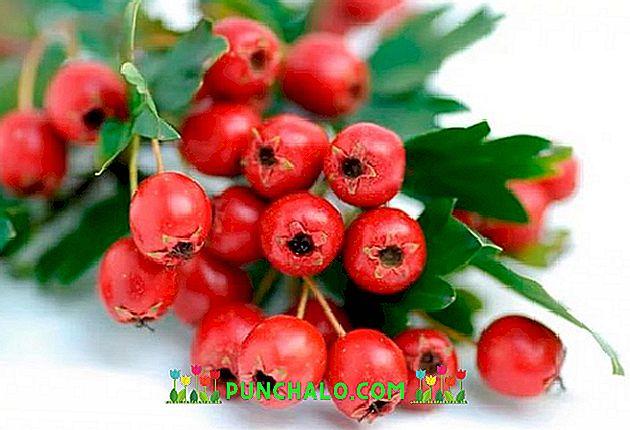 Paducel Fructele Inimii, Bio, proaspete, Oferta la Sfarsit de cules