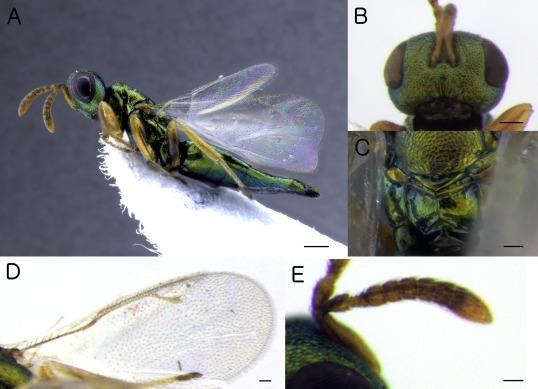 paraziti himenoptera neuroblastom cancer copii